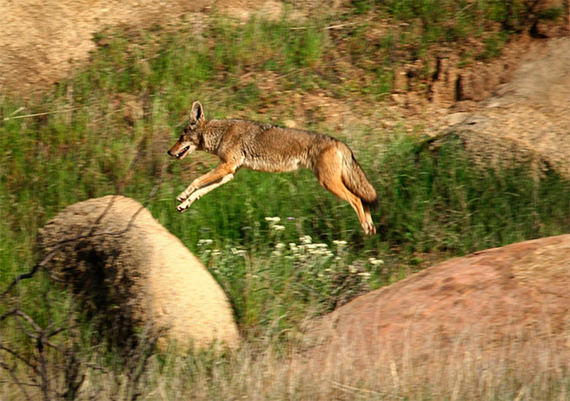 Leaping wolf on SSFL