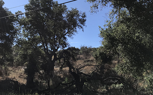 This photo shows an oak grove with oaks and other vegetation re-establishing growth following the November Woolsey Fire.